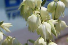 Härliga vitklockor som blomstras i sommaren Fotografering för Bildbyråer