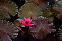 Härliga Waterlily i botanisk trädgård royaltyfri foto