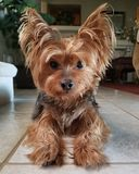 Härliga Yorkie Yorkshire Terrier på tegelplattagolv Royaltyfria Foton