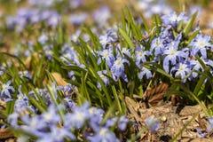 Härlighet av snön Chionodoxa blommar i blom Fotografering för Bildbyråer