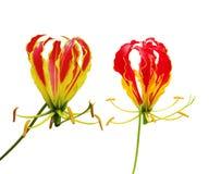 härlighet isolerad lilja Fotografering för Bildbyråer