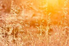 Härligt ängfält med varmt ljus för torr mjuk för växthavre guld- signalljus för sol Royaltyfri Bild