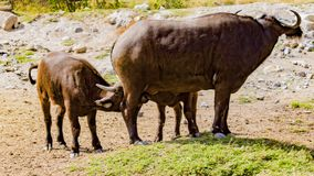 Härligt ögonblick, då en buffelmoder skulle amma hennes barn royaltyfri bild