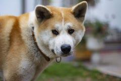 Härligt akita hundanseende i trädgård utomhus arkivbilder