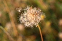 Härligt av blomman för torkat gräs Arkivfoton
