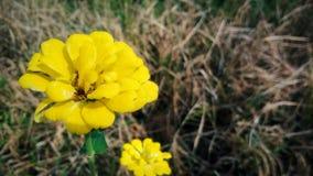 Härligt av gula blommor Royaltyfria Bilder