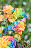 Härligt av regnbågerosor Arkivbild