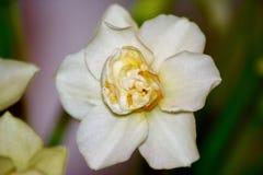 Härligt av vit eller ljus - övre nummer 10 för gult blom- slut Royaltyfria Foton