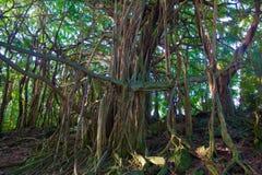 Härligt banyanträd arkivfoto