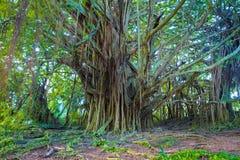 Härligt banyanträd royaltyfria foton