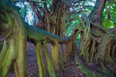 Härligt banyanträd royaltyfria bilder