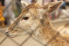 Härligt behandla som ett barn hjortprofilen Royaltyfri Bild