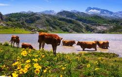 Härligt berglandskap med sjön och kor Arkivfoton