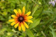 Härligt Blackeyed Susan för blomma slut upp bakgrund fotografering för bildbyråer
