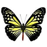Härligt blekt - gul fjäril, chokladTiger Parantica mela royaltyfri fotografi