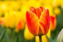 Härligt blomma för tulpan Arkivbilder