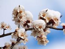 Blommor i snowen Royaltyfria Foton
