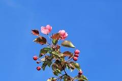 Härligt blommande äppleträd som ger oss en festmåltid av skönhet arkivfoto