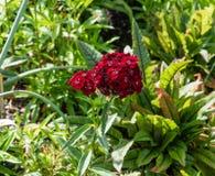 Härligt blommande djupt - röd klungablomma på en botanisk trädgård i Durham, North Carolina arkivfoton