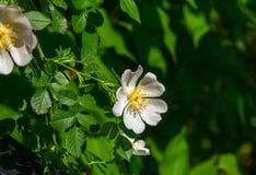 Härligt blommande rosa te steg växa i trädgården arkivfoton
