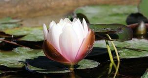 Härligt blommande rosa vatten Lily In The Pond lager videofilmer