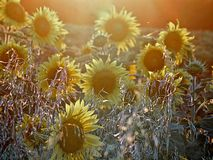 Härligt blommande solrosfält under solnedgång royaltyfria foton