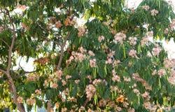 Härligt blommigt tamarindfruktträd Arkivbilder