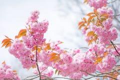 härligt blomningCherry Arkivfoton