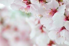 härligt blomningCherry Royaltyfria Bilder