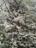 Härligt blomningfruktträd i vår arkivbild