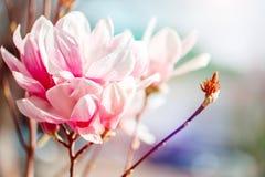 Härligt blomningmagnoliaträd med rosa blommor yellow för fjäder för äng för bakgrundsmaskrosor full Royaltyfria Bilder