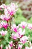 Härligt blomningmagnoliaträd med rosa blommor yellow för fjäder för äng för bakgrundsmaskrosor full Arkivfoton
