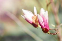 Härligt blomningmagnoliaträd med rosa blommor yellow för fjäder för äng för bakgrundsmaskrosor full Royaltyfria Foton