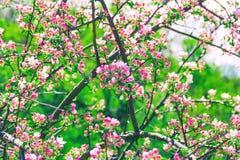 Härligt blomstra Apple-träd Fotografering för Bildbyråer