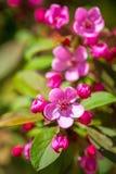 Härligt blomstra körsbärsrött träd Royaltyfria Bilder