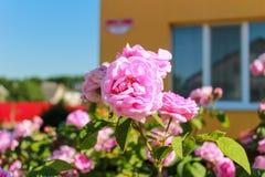 Härligt blomstra steg busken nära hus utomhus fotografering för bildbyråer