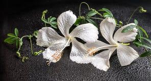 Härligt brunnsortbegrepp av den blommande delikata vita hibiskusen, gräsplan Royaltyfria Foton