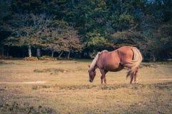 Härligt brunt beta för häst Royaltyfri Fotografi