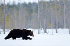Härligt brunt däggdjur som går runt om sjön med snö och is Farlig varelse i naturträ, änglivsmiljö Djurlivlivsmiljö royaltyfri fotografi