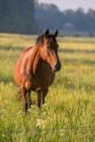 Härligt brunt hästanseende i ett fält i Filipstad Sverige Royaltyfria Bilder