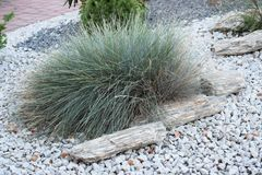 Härligt dekorativt gräs i trädgården med stenar Fotografering för Bildbyråer