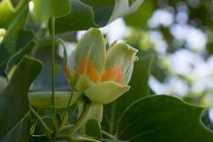 Härligt dekorativt träd för Liriodendrontulipifera i blom Royaltyfria Foton