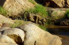Härligt djur av Kenya - apan royaltyfri foto