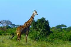Härligt djur av Kenya - giraffet arkivbilder