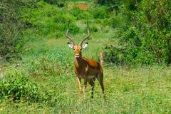 Härligt djur av Kenya - impalan fotografering för bildbyråer