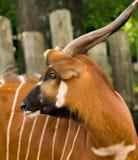 Härligt djur - stor östlig bongoantilop, extremt sällsynt Fotografering för Bildbyråer