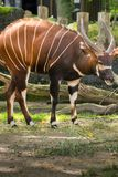 Härligt djur - stor östlig bongoantilop, extremt sällsynt Arkivbild