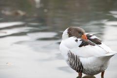 Härligt en and som vilar på sjön royaltyfria foton
