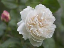 Härligt enkelt ljus - rosa färgros Royaltyfri Foto