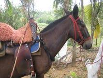 Härligt exempel av en colombiansk mula arkivfoton